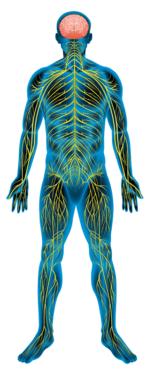 Периферическая нервная система человека