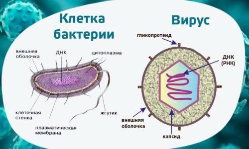 клетка бактерии и вируса