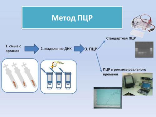Метод ПЦР таксоплазмоз