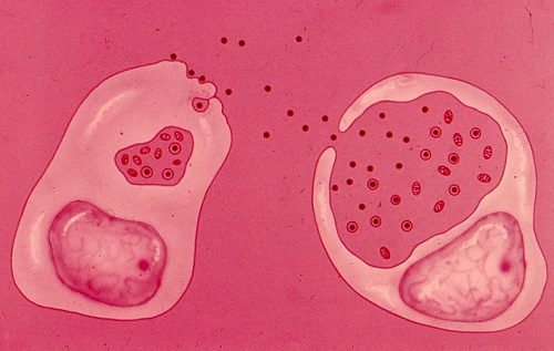заражение здоровой клетки при хламидиозе