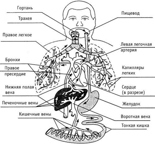 аскариды поражают различные органы
