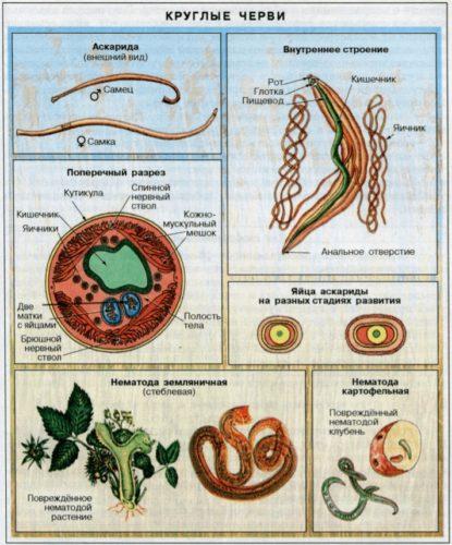 факторы передачи аскаридоза