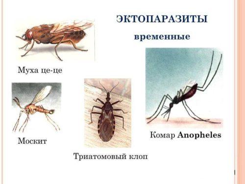 эктопаразиты у человека