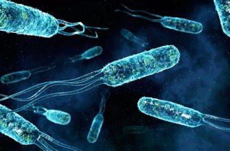 палочковидные бактерии