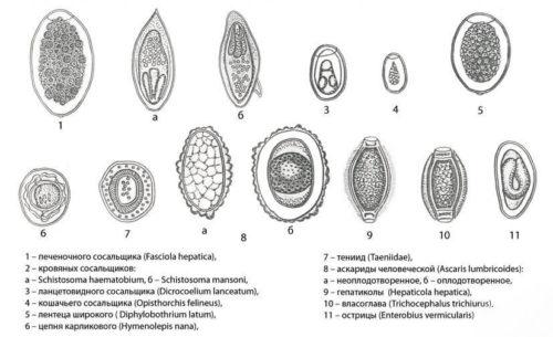 виды яиц гельминтов