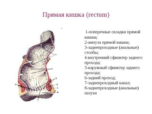 прямой кишечник