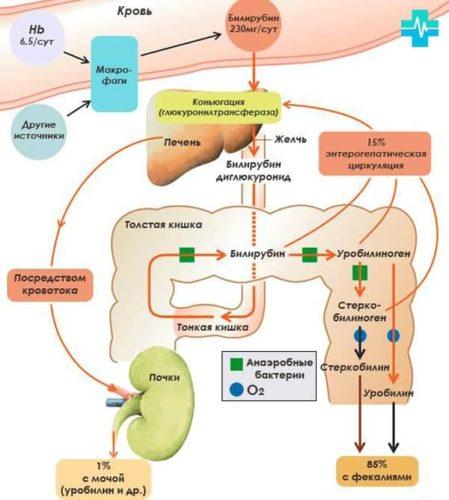 стеркобилин и билирубин