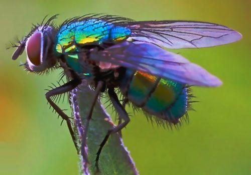 холера от мух