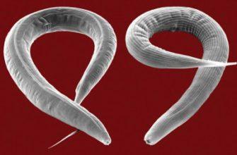 Сколько живут острицы