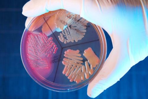 Виды бактерий стафилококка