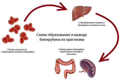 Как образуется и выводится из организма уробилин