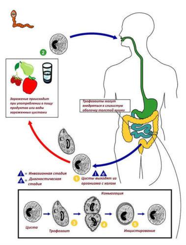 цикл инфицирования трофозоитом