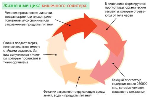 жизненный цикл солитера