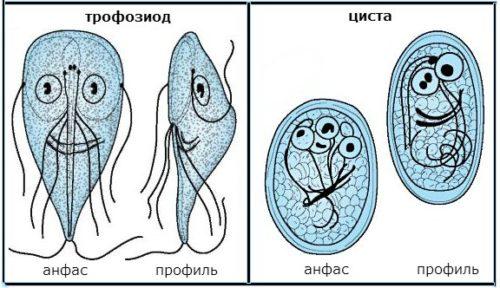 цисты и лямблии