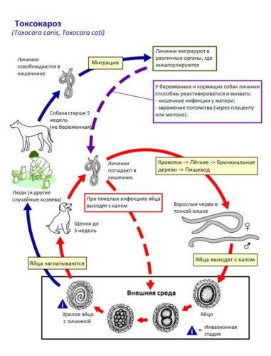 жизненный цикл токсокароз