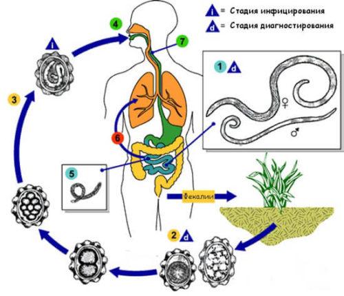 цикл жизни паразитов