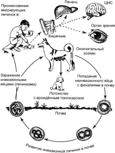 жизненный цикл гельминтов