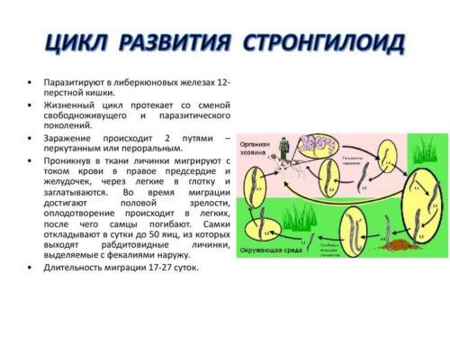стронгилоид